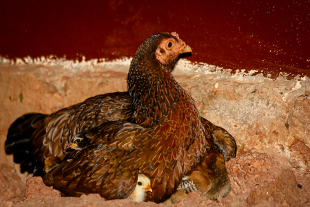 Mother Hen and Protecting Chicks Stockfoto