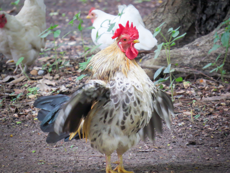 chicken bantam