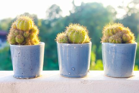 花瓶の中 3 の若いサボテンの植物