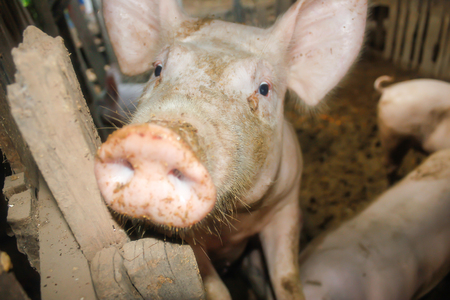 The pig in the stall.