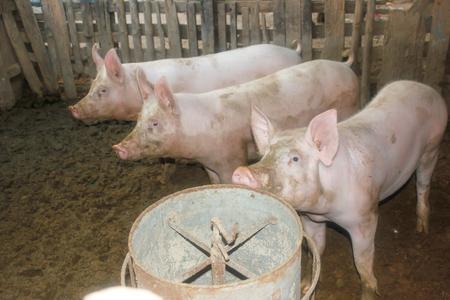 屋台の豚。 写真素材 - 90263930