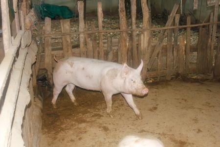 屋台の豚。