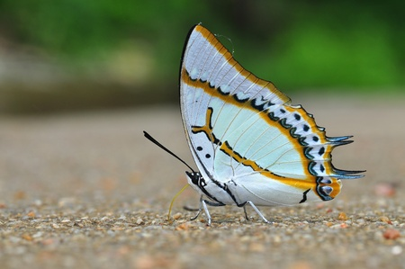 Great Nawab butterfly of thailand