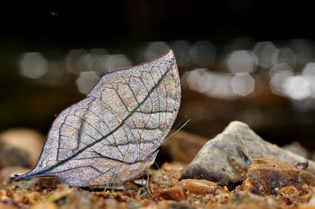 Orange Oakleaf butterfly of thailand