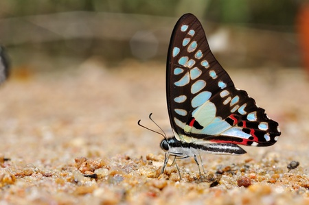 Common jay butterfly of thailand background photo