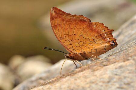 rajah: mariposa raj� rojizo de fondo de Tailandia