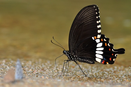 Common Mormon butterfly of thailand background Stock Photo - 10805005