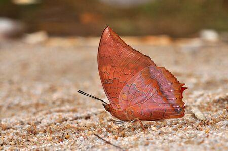 rajah: Leonado Rajah mariposa de fondo de Tailandia