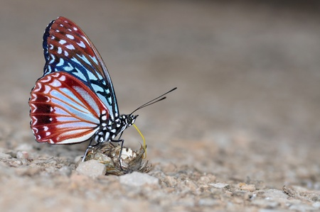 Circe butterfly of thailand background