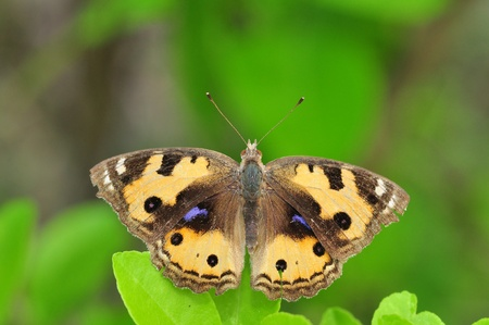 nymphalidae: Yellow Pansy butterfly of thailand background