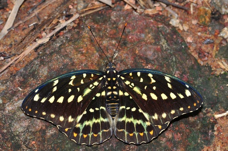 archduke: common archduke butterfly of Thailand background Stock Photo
