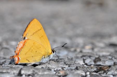 lycaeninae: Golden Sapphire butterfly of thailand background