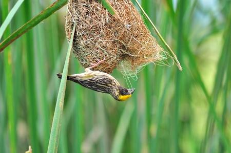 Streaked Weaver bird of thailand background Stock Photo