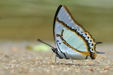 Great Nawab butterfly of thailand background