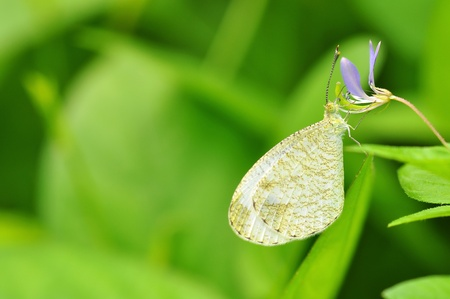 psyche: Psyche butterfly of Thailand background