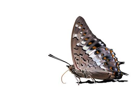 rajah: Mariposa Rajah negro de fondo de Tailandia