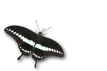butterfly tail: Banded swallowtail butterfly isolated on white Stock Photo