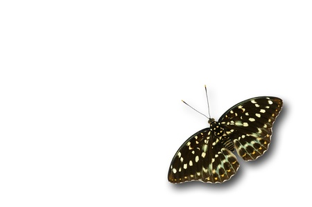 archduke: common archduke butterfly isolated on white