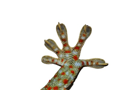 foot tokay gecko - Gekko gecko in front of a white background photo