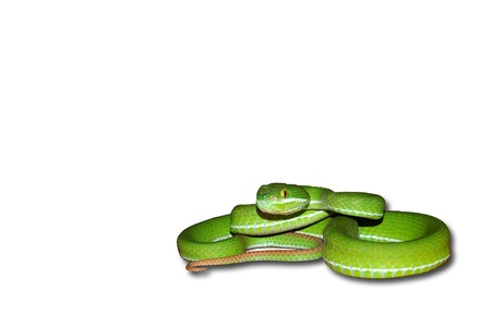 green pit viper isolated on white photo