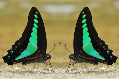 Common bluebottle butterfly of Thailand background Zdjęcie Seryjne