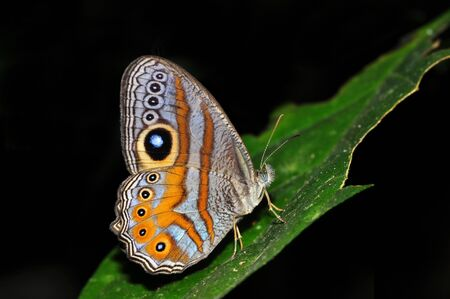 nymphalidae: Eyed cyclops butterfly of Thailand background