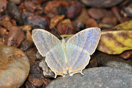 Marbled map butterfly of Thailand background Stock Photo - 10897586