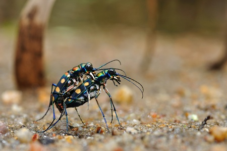 thialand: Golden-spotted tiger beetle from Thialand Stock Photo
