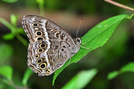blackspotted: Black-spotted Labyrinth butterfly of Thailand background   Stock Photo