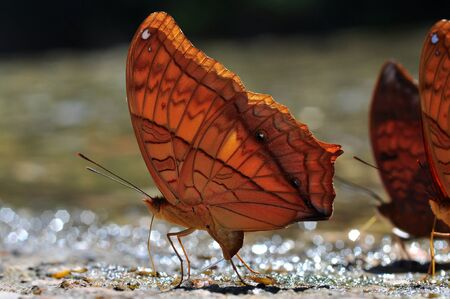 micturition: Common Cruiser butterfly of Thailand