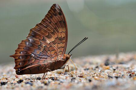 rajah: Mariposa Rajah Tawny de Tailandia de fondo