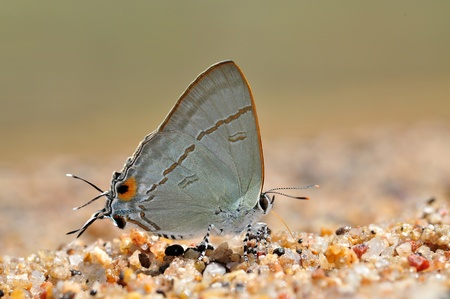 lycaenidae: Common Tit butterfly of Thailand background Stock Photo