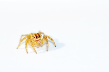 yellow spider isolated on white background Stock Photo - 11283412