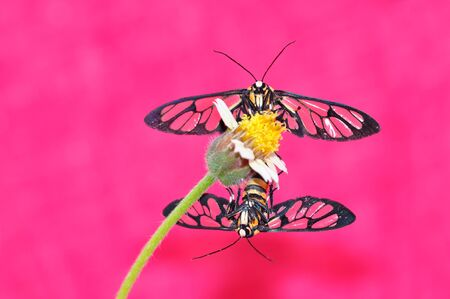 Tiger Glass moth butterfly isolated on pink  photo