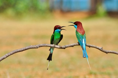 Blue throated Bee eater bird of Thailand background photo