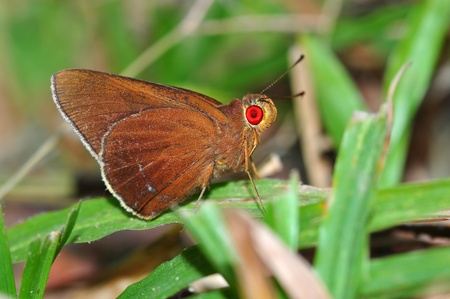 redeye: Common redeye butterfly from Thailand background