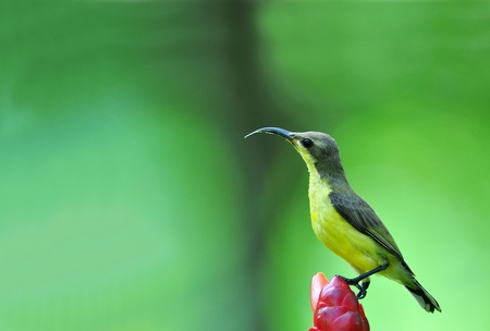 brown throated: Brown-throated Sunbird from Thailand Stock Photo