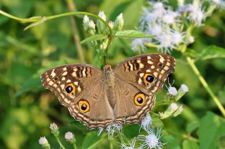 Lemon Pansy brown butterfly from Thailand background photo
