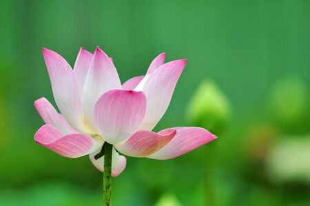 Lotus pink from Thailand background Stock Photo - 12369645
