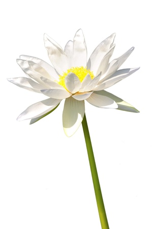 lotus white flower isolated on white  photo