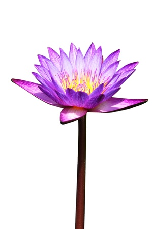 egyptian lily: lotus purple flower isolated on white  Stock Photo