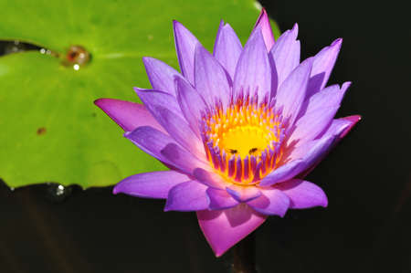 Lotus purple flower from Thailand background Stock Photo - 12369646