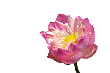 lotus pink flower isolated on white