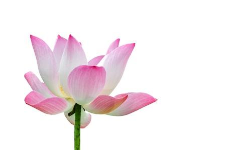 nelumbinis: lotus flower isolated on white  Stock Photo