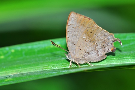 Common Acacia Blue butterfly on leaf from Thailand background photo