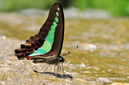 micturition: common bluebottle butterfly from Thailand background