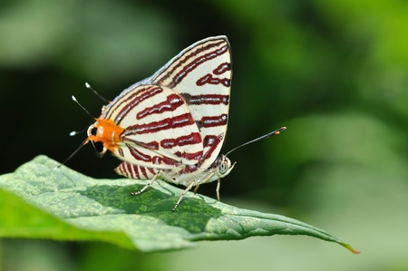 silverline: Club silverline red butterfly on leaf from Thailand background
