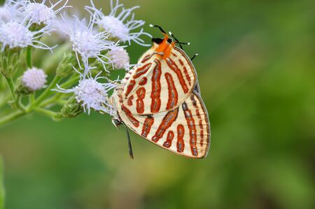 silverline: Club silverline red butterfly on flower from Thailand background  Stock Photo