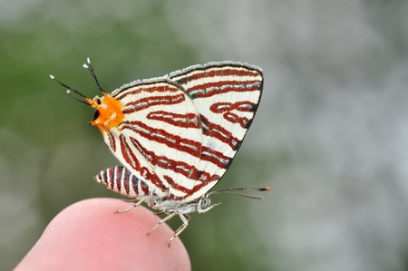 silverline: Club silverline red butterfly on finger from Thailand background