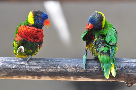 two Eclectus Parrot - Eclectus roratus bird sitting on branch Stock Photo - 12929520
